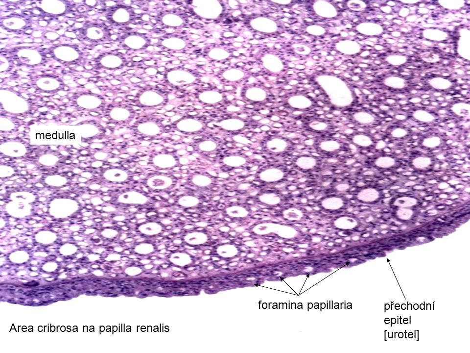 medulla foramina papillaria přechodní epitel [urotel] Area cribrosa na papilla renalis